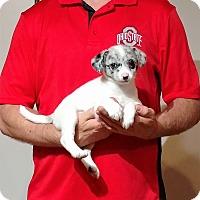 Adopt A Pet :: Lily - South Euclid, OH