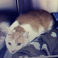 Adopt A Pet :: Gimlet - Trevose, PA