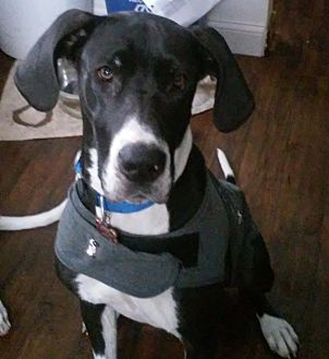 Great Dane Dog for adoption in Stevens Point, Wisconsin - Daisy