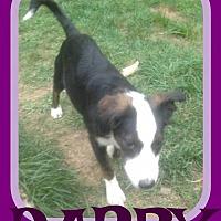 Adopt A Pet :: DARBY - Sebec, ME