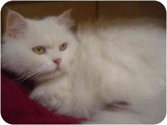 Persian Cat for adoption in Freeport, New York - Happy