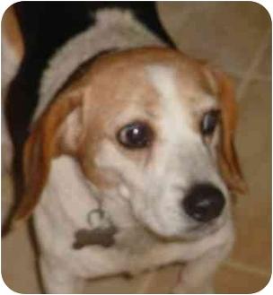 Beagle Dog for adoption in Waldorf, Maryland - Clara Belle Huff