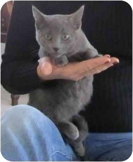 Russian Blue Kitten for adoption in Davis, California - Elizabeth
