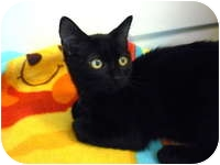 Domestic Shorthair Kitten for adoption in Tampa, Florida - JC