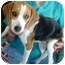 Photo 1 - Beagle Puppy for adoption in Leoti, Kansas - Wednesday