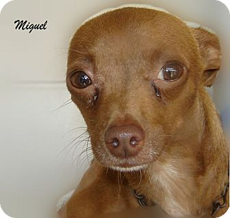 Chihuahua Mix Dog for adoption in Beaumont, Texas - Miguel