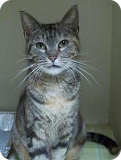 Domestic Shorthair Cat for adoption in Parkton, North Carolina - Izzy