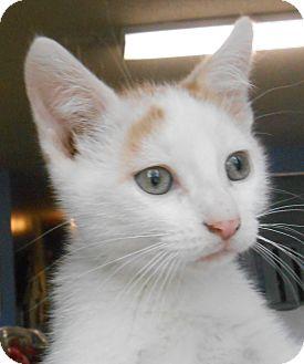 Domestic Shorthair Kitten for adoption in Murphysboro, Illinois - Squeaker
