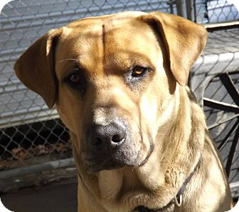 Labrador Retriever Mix Dog for adoption in Henderson, North Carolina - LeeRoy