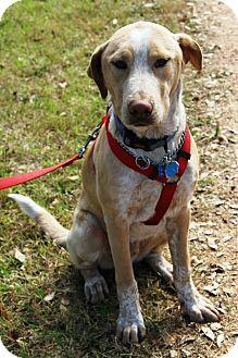 Labrador Retriever/Husky Mix Dog for adoption in Kingwood, Texas - Alvin