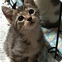 Adopt A Pet :: CH Kittens - Harriman, NY