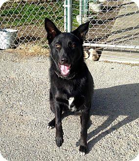 German Shepherd Dog/Border Collie Mix Dog for adoption in Bridgeport, California - Gunther