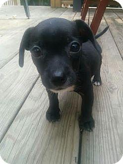 Chihuahua Mix Puppy for adoption in Hainesville, Illinois - Burrito