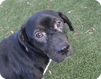 Labrador Retriever Mix Dog for adoption in Gainesville, Florida - Casey