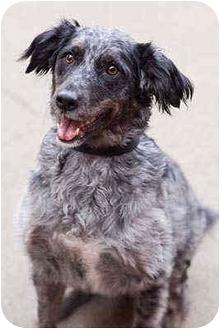 Australian Shepherd Mix Dog for adoption in Portland, Oregon - Marley