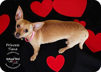 Chihuahua Mix Dog for adoption in Shawnee Mission, Kansas - Princess Tiana