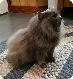 Russian Blue Cat for adoption in Witter, Arkansas - T.C. (Nebelung)