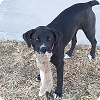 Adopt A Pet :: Harley - Kansas city, MO