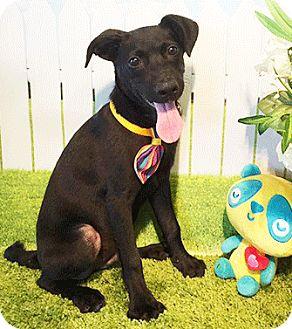 Labrador Retriever Mix Puppy for adoption in Castro Valley, California - Casper