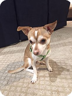 Chihuahua Dog for adoption in Chicago, Illinois - Finley