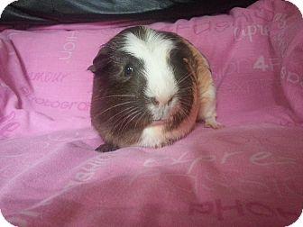 Guinea Pig for adoption in Harleysville, Pennsylvania - Danielle