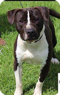 American Staffordshire Terrier Mix Dog for adoption in Covington, Louisiana - Bennett