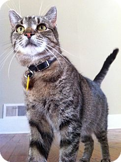 American Shorthair Cat for adoption in Brooklyn, New York - LadyBird