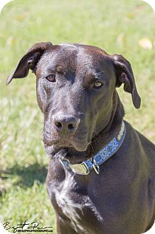 Labrador Retriever Mix Dog for adoption in Monroe, North Carolina - Mason