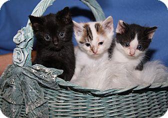 Domestic Shorthair Kitten for adoption in Marietta, Ohio - Darrin Samantha Tabitha