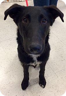 Labrador Retriever/Shepherd (Unknown Type) Mix Dog for adoption in East Hartford, Connecticut - Sammy in CT