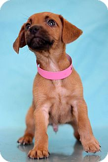 Dachshund Mix Puppy for adoption in Waldorf, Maryland - Heart
