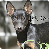 Adopt A Pet :: Lilly Grace - Glastonbury, CT