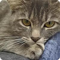 Domestic Mediumhair Cat for adoption in Potsdam, New York - Bella