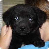 Adopt A Pet :: Pugsley - Southbury, CT