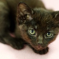 Adopt A Pet :: Toulouse - Great Falls, MT
