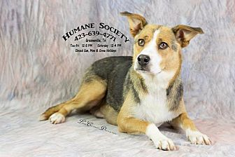 Shepherd (Unknown Type)/Husky Mix Dog for adoption in Greeneville, Tennessee - Mary-AC-18633-K