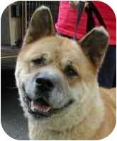 Akita Dog for adoption in Warren, New Jersey - Gabby