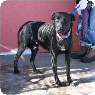 Labrador Retriever Mix Dog for adoption in Denver, Colorado - Missy 2