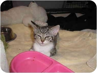 Domestic Shorthair Kitten for adoption in Tampa, Florida - LZ