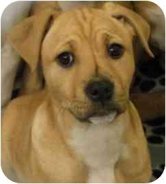 Beagle Mix Puppy for adoption in SHARONVILLE, Ohio - Travis