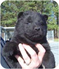 Chow Chow/Husky Mix Puppy for adoption in Baltimore, Maryland - Jackson