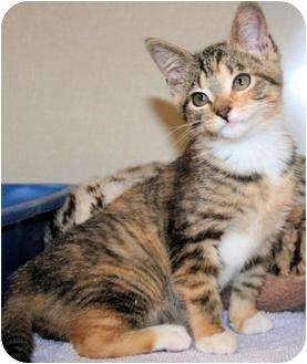 Domestic Shorthair Kitten for adoption in Edmonton, Alberta - Marley