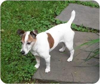 Jack Russell Terrier Dog for adoption in Raritan, New Jersey - Rusty