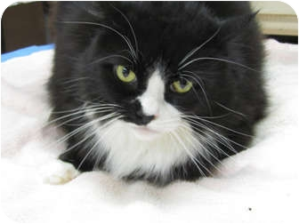 Maine Coon Cat for adoption in Gaithersburg, Maryland - Journey