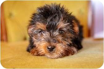 Yorkie, Yorkshire Terrier Puppy for adoption in waterbury, Connecticut - Raj