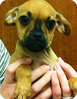Pug/Chihuahua Mix Puppy for adoption in Oswego, Illinois - The Chipchugs Litter Simoe