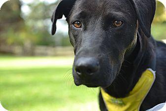 Labrador Retriever Mix Dog for adoption in Berkeley, California - Fai from Costa Rica