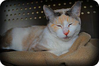 "Siamese Cat for adoption in Yuba City, California - 11/2/12 ""Dahlia"""