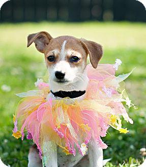 Rat Terrier Mix Puppy for adoption in Portsmouth, Rhode Island - Octane w/video!