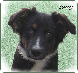 Australian Shepherd/Flat-Coated Retriever Mix Puppy for adoption in Marlborough, Massachusetts - Sassy-Cute as Can Be